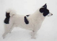 Karelian Bear Dog Dog Breed Information  akcorg